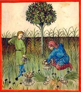 medieval garlic